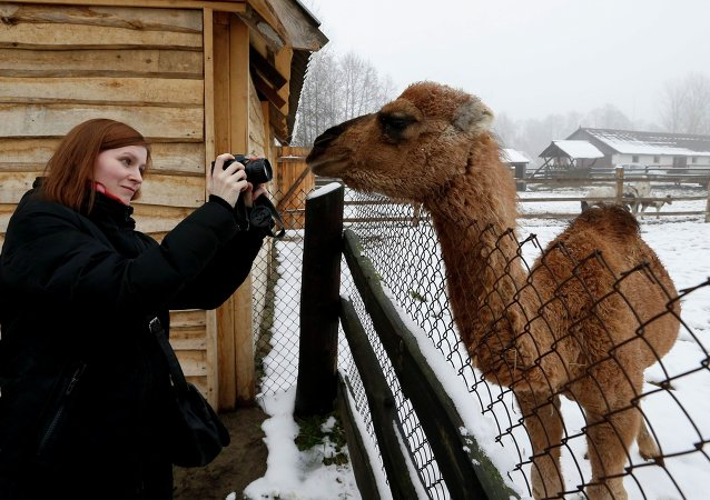 俄罗斯培育出新品种骆驼