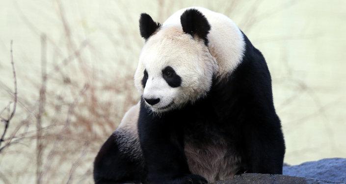 野生大熊猫下山开荤啃食山羊