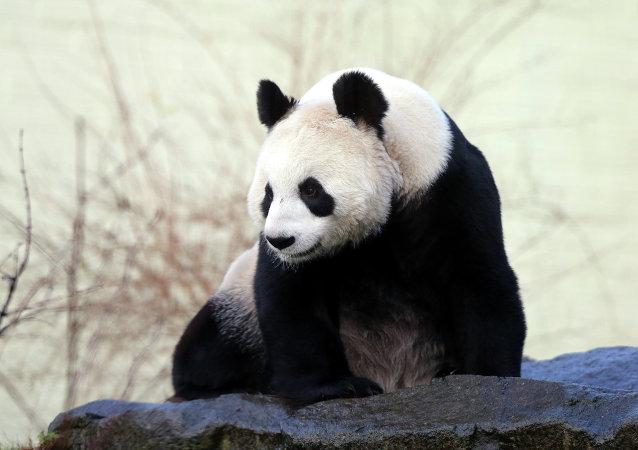 中国警方逮捕10名猎杀大熊猫罪犯