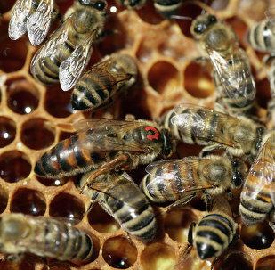 俄联邦动植物卫生监督局禁止18余吨毒蜂蜜进入中国