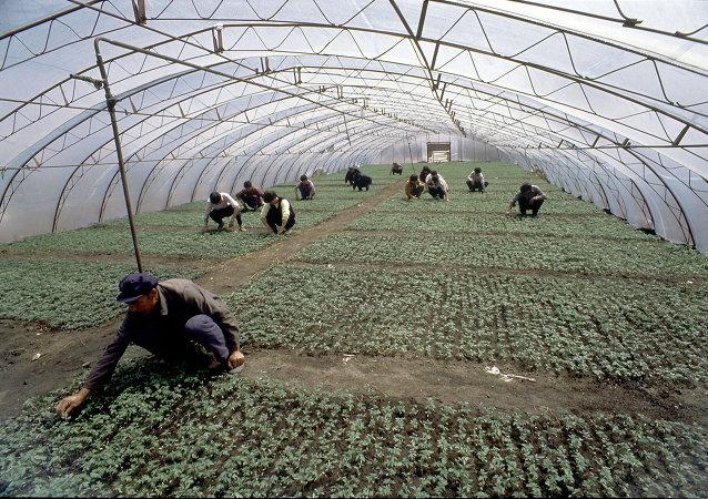中国菜农(俄罗斯滨海边疆区)
