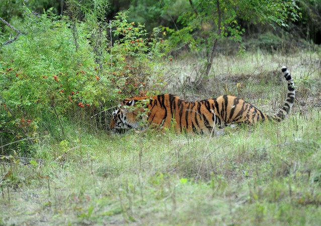 世界自然基金会:饲料资源增加与打击盗猎促使濒危虎豹数量上升