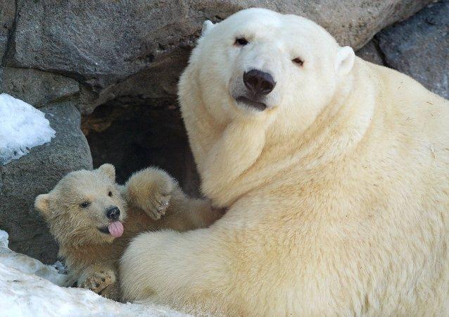 莫斯科動物園,北極熊