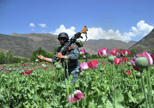 """俄麻醉品监管总局:""""伊斯兰国""""在阿富汗毒品贸易获得力量"""