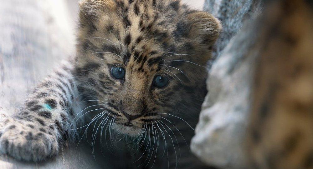 在俄罗斯这种稀有猫科动物的数量得到迅速增长,目前已达70只,且增长
