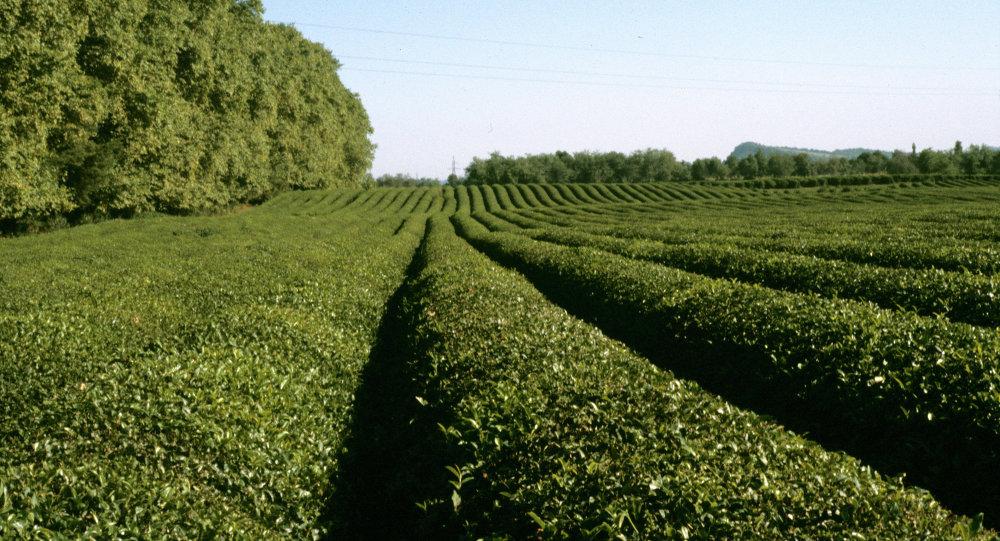 中国将帮助格鲁吉亚恢复茶叶种植