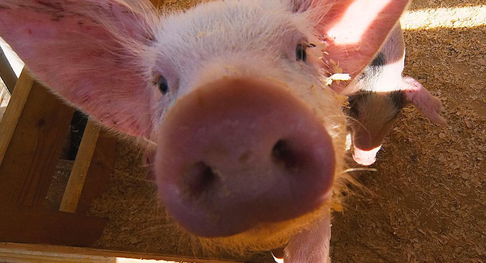 哈尔滨银行有意参与俄农业集团在中国境内建养猪场项目