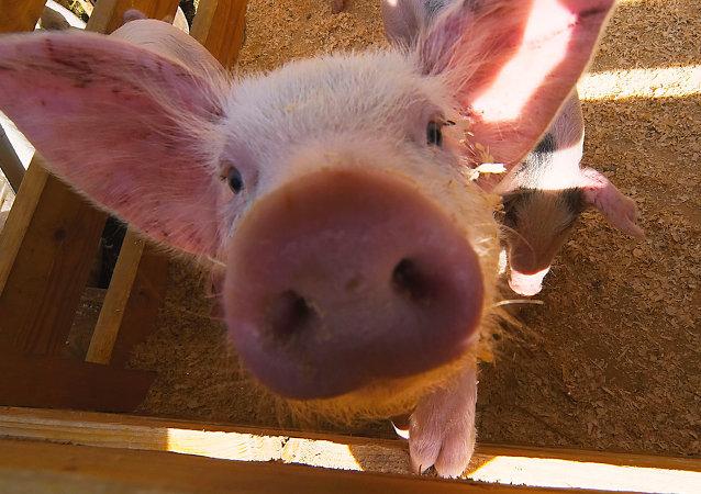 科学家们很快将能够将猪人的心脏移植给人