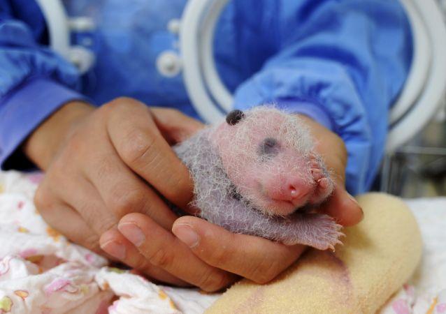 东京动物园诞生一只大熊猫宝宝