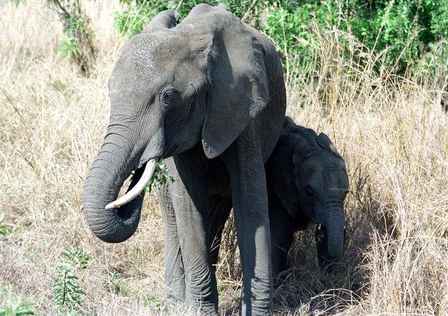 视媒:泰国一大象发狂杀死训象人并将中国游客拖入森林