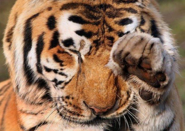 两只老虎从荷兰北部的动物养殖厂逃脱