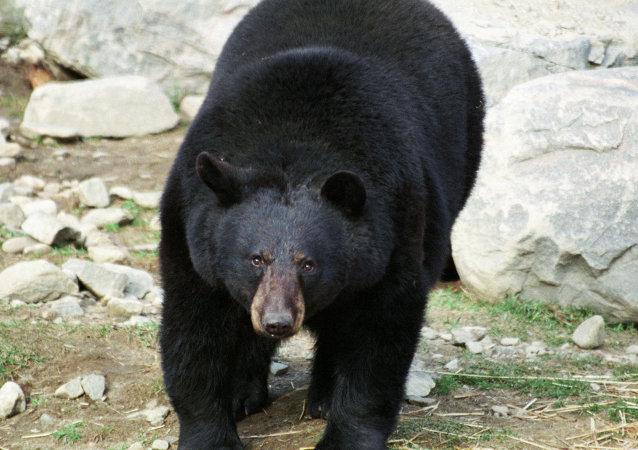 熊自俄罗斯进入中国,在边境县引起恐慌