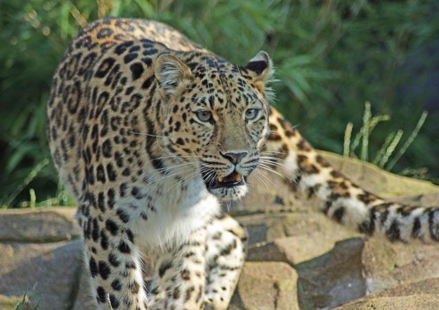 帕米拉·安德森探望的远东豹来自中国