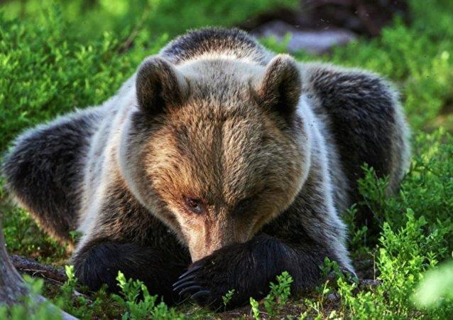 择捉岛居民开车碾压棕熊 将出庭受审