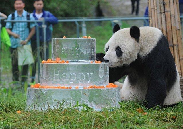 全球最高龄大熊猫在中国庆30岁生日