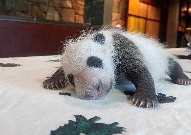 中美两国第一夫人在华盛顿动物园为新生大熊猫命名
