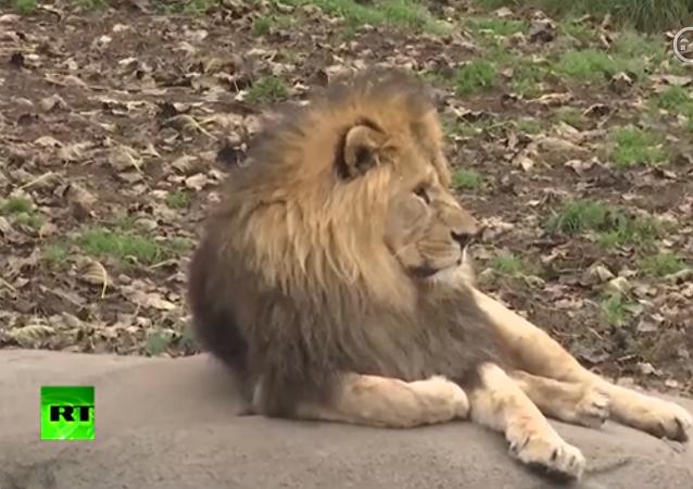 在丹麦在孩子们面前解剖狮子引起争议