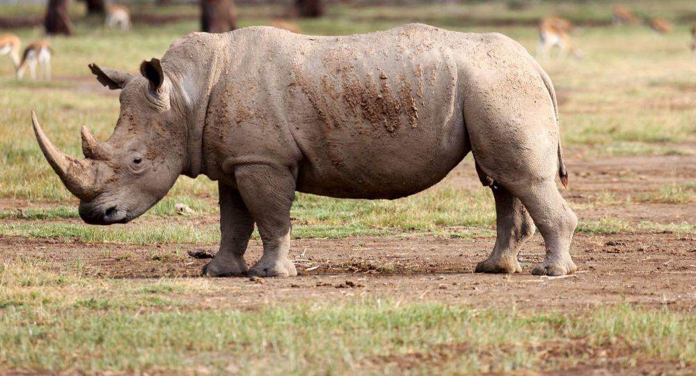 马来西亚的最后一头苏门答腊犀牛死亡