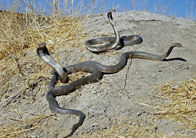 俄达吉斯坦一名女农在自家地里杀死80余条蛇