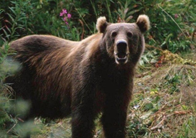 在从后贝加尔开往满洲里的列车上发现40多只熊掌