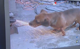 實拍另類狗狗愛把火花當零食