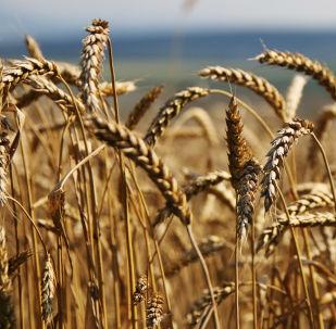 新西伯利亚州计划2016年向中国出口达20万吨粮食