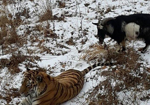 老虎和公山羊