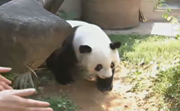 熊猫盼盼原型巴斯迎35岁生日 相当于人类百岁