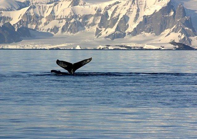 日本捕鲸船出发前往南极捕鲸场