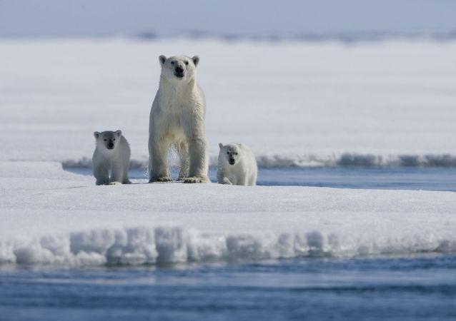 """北极熊组团""""包围""""俄远东村庄"""