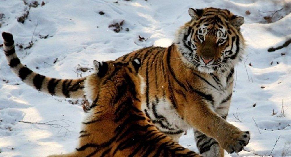 Тигрята Светлая и Боря могут создать пару в ЕАО