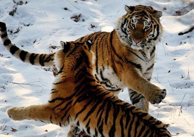 """综述:学者查明有约50只虎豹拥有俄中""""双重国籍"""""""