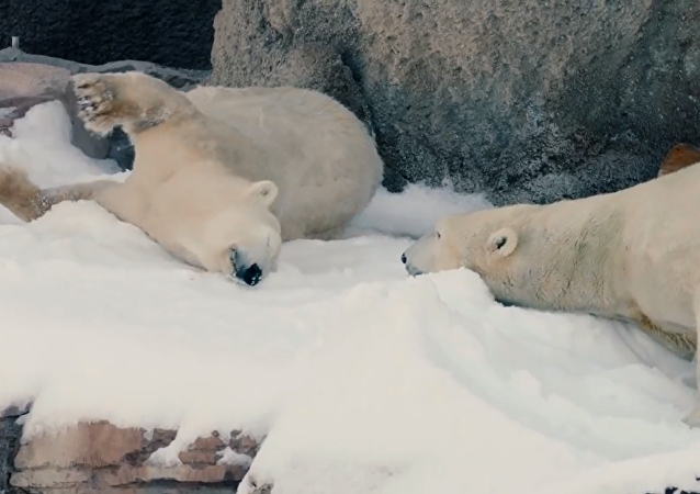 圣地亚哥动物园 北极熊圣诞回雪境