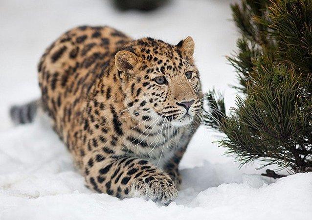 """俄罗斯有关滨海边疆区""""豹之乡""""的大型纪录片将于纽约电影节上映"""