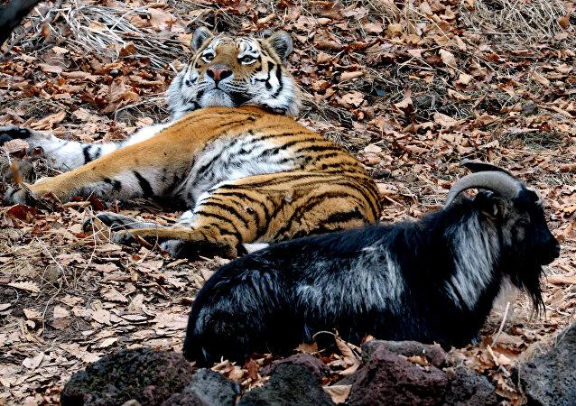 俄野生动物园播放虎羊同居生活秀 流量过大致网站崩溃