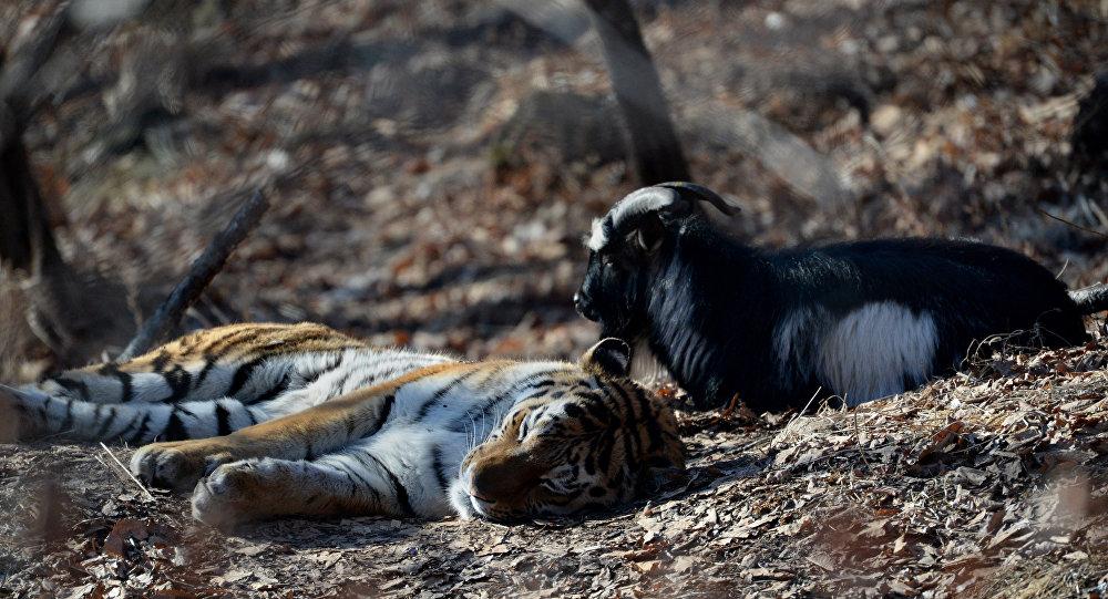 老虎與山羊帖木兒