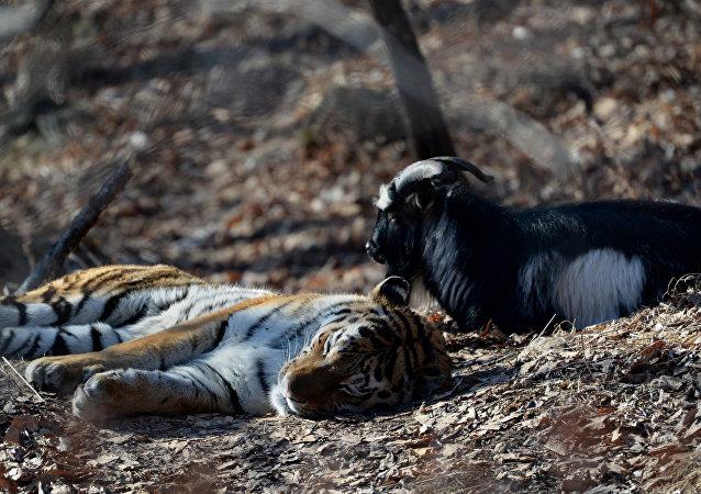 老虎与山羊