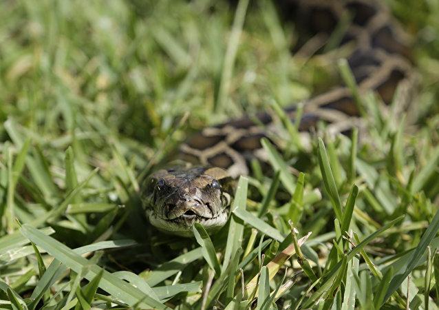 曼谷机场行李车惊现蟒蛇