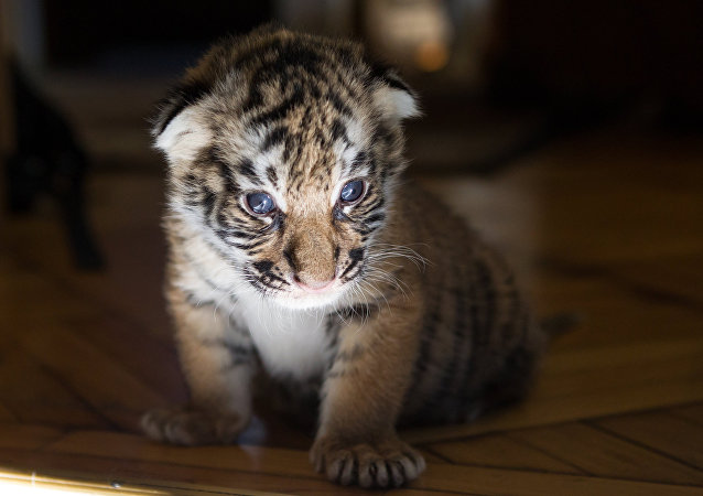 俄滨海边疆区发现的幼虎将被移至露天兽区