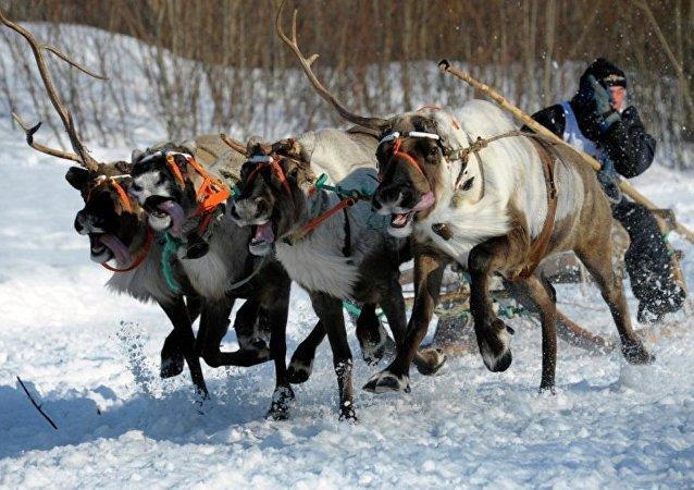 俄国防部:北极摩步旅侦察兵已会驾驶鹿拉雪橇