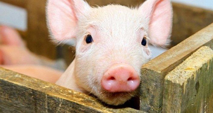 乌克兰爆发非洲猪瘟疫情