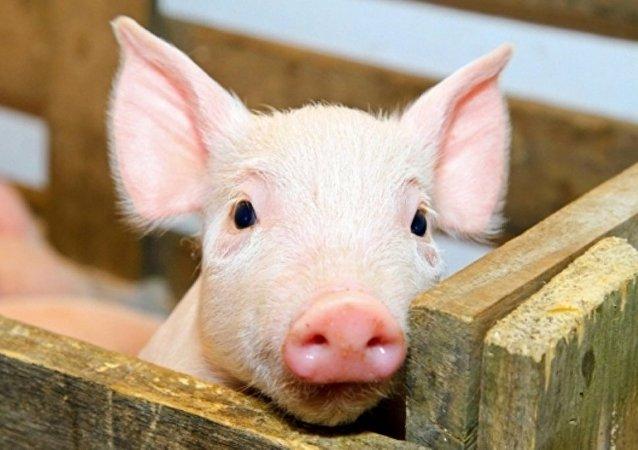 俄罗斯农业集团2016年或开始对华出口猪肉