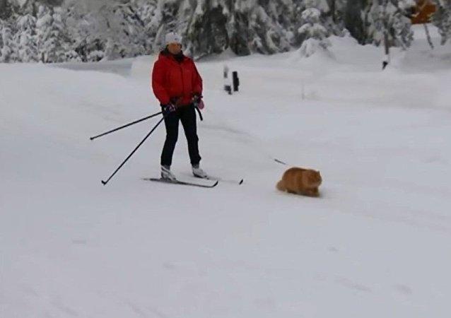 雪橇犬?不,是雪橇猫!