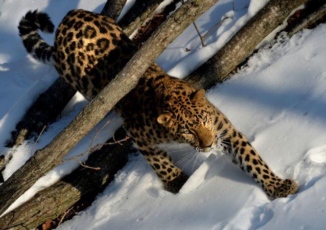 中俄学者:超过30只老虎和豹子经常穿越中俄边界