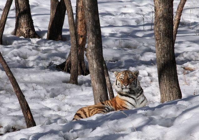 俄罗斯去年秋天失踪的母老虎菲利帕被找到