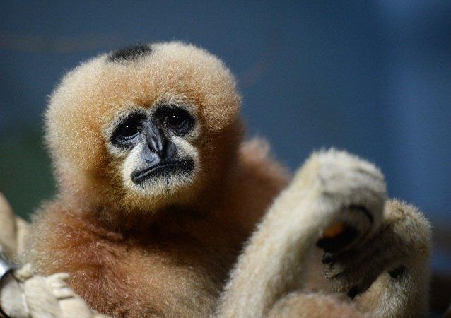 """叶卡捷琳堡动物园的一只长臂猿成为2016年动物""""佳丽"""""""