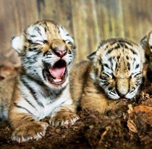 三东北虎幼崽出生在克里米亚野生动物园