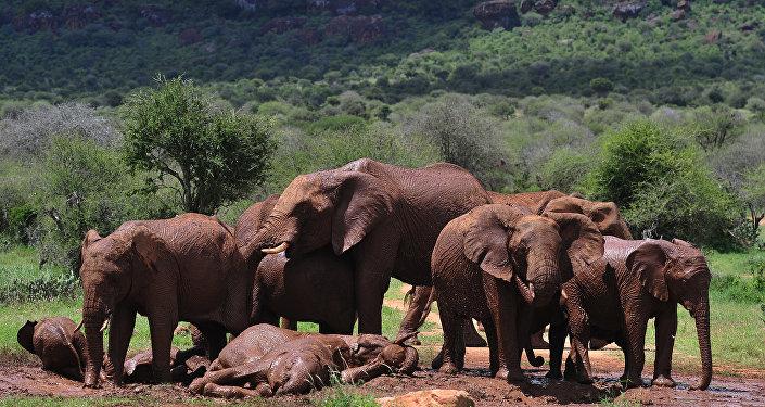 印度大象被洪水冲至孟加拉国用药过度致死