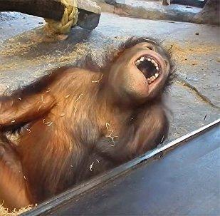 猩猩狂笑视频浏览量达200万次
