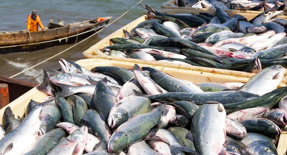 俄日商定为日本渔船设定的鲑鱼捕捞配额不变
